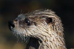 Lontra di fiume nordica immagine stock libera da diritti