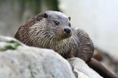 Lontra di mare Fotografia Stock Libera da Diritti