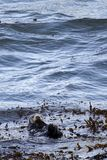 Lontra di mare Fotografia Stock