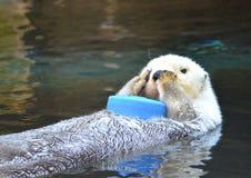 Lontra di mare Immagini Stock Libere da Diritti