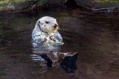 Lontra di mare Fotografie Stock Libere da Diritti