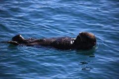 Lontra di mare, acqua, mare immagini stock libere da diritti