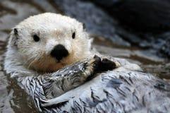 Lontra di mare bianco Fotografie Stock Libere da Diritti