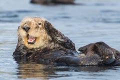 Lontra di mare che copre le orecchie nella baia California di Morro immagini stock libere da diritti
