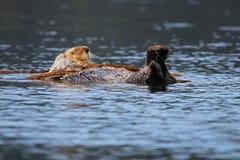 Lontra di mare che dorme nel pezzo di terra coltivato al fuco Fotografia Stock