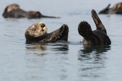 Lontra di mare che galleggia sulla parte posteriore nella baia di Morro, California fotografia stock libera da diritti