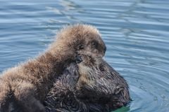Lontra di mare con il cucciolo Fotografia Stock Libera da Diritti