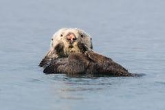 Lontra di mare con il naso rosa che fa dorso fotografie stock
