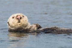 Lontra di mare con il naso rosa che fa dorso fotografie stock libere da diritti