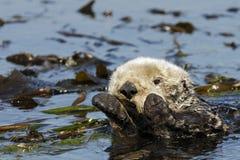 Lontra di mare di Califonia fotografia stock