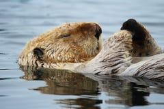 Lontra di mare di sonno Immagine Stock Libera da Diritti