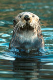 Lontra di mare (Enhydra Lutris) Fotografia Stock