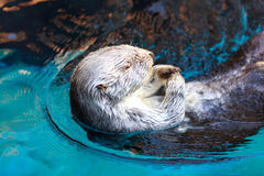 Lontra di mare (Enhydra Lutris) Fotografia Stock Libera da Diritti