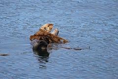 Lontra di mare nel pezzo di terra coltivato al fuco Fotografie Stock