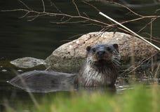 Lontra di Paleartic (lutra della lutra) Fotografia Stock