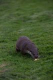 Lontra européia Fotografia de Stock