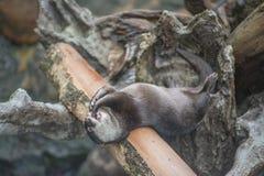 Lontra felice Fotografia Stock