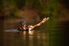 Lontra gigante, brasiliensis de Pteronura, retrato na água do rio com os peixes na boca, cena ensanguentado da ação, animal no ha Imagem de Stock