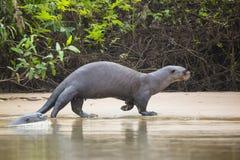 Lontra gigante fêmea selvagem que dá uma volta ao longo da praia pela selva Fotos de Stock Royalty Free