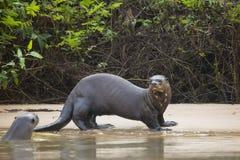 Lontra gigante fêmea selvagem surpreso e amigo na praia pela selva Imagens de Stock