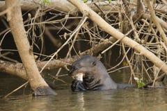 Lontra gigante selvaggia che mastica pesce in fiume sotto Bush Fotografia Stock