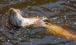Lontra - lutra della lutra Fotografia Stock Libera da Diritti