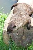 Lontra (lutra do Lutra) Imagem de Stock Royalty Free