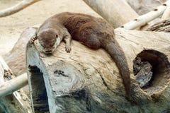 Lontra - lutra do Lutra na natureza fotografia de stock