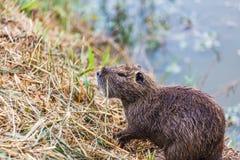 A lontra molhada senta-se no lago Fotos de Stock