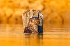 Lontra na água clara da noite alaranjada Lontra gigante, brasiliensis de Pteronura, retrato no nível de água do rio, Rio Negro, P Imagem de Stock