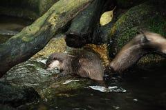 Lontra nel giardino zoologico di Singapore Fotografia Stock
