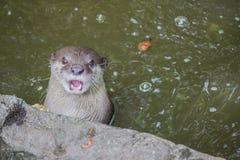 Lontra nell'acqua Fotografie Stock Libere da Diritti