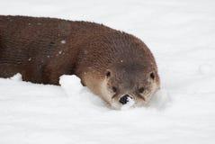 Lontra nella neve Fotografia Stock