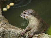 A lontra no jardim zoológico imagens de stock royalty free