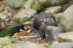Lontra pequeno-agarrada asiática Imagem de Stock Royalty Free