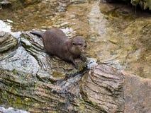 Lontra Pequeno-agarrada oriental Foto de Stock Royalty Free