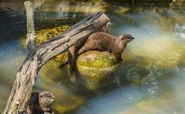 Lontra Pequeno-agarrada oriental Fotos de Stock