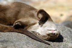 Lontra Piccolo-artigliata orientale Fotografia Stock