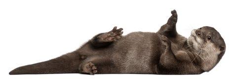 Lontra piccolo-artigliata orientale, Amblonyx Cinereus Fotografie Stock
