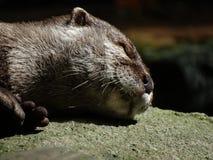 Lontra prendente il sole Fotografia Stock