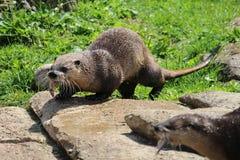 Lontra que come peixes Fotografia de Stock