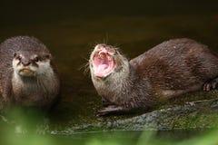 Lontra que grita Imagens de Stock Royalty Free