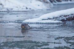 Lontra selvaggia che attraversa fiume freddo in primo piano di inverno fotografia stock