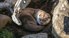 Lontra sonnolenta fotografia stock libera da diritti