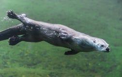 Lontra sotto acqua Immagini Stock