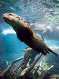 Lontra sotto il colpo acqua del primo piano Fotografie Stock Libere da Diritti