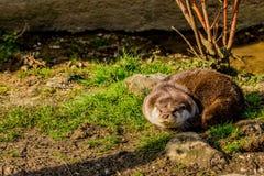 Lontra sull'erba che prende il sole immagini stock libere da diritti