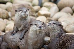 Lontras Fotografia de Stock