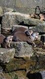 lontras Fotografia de Stock Royalty Free