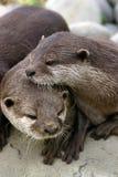 Lontras amigáveis Fotografia de Stock